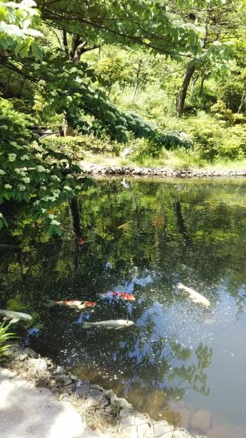 椿山荘池と鯉