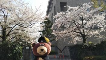 中央図書館裏桜