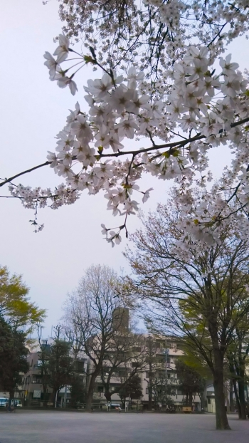 鶴巻南公園桜暗い