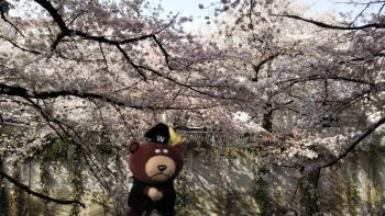 神田川桜ベア