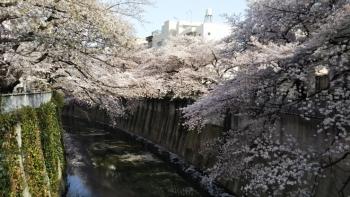 神田川桜横DSC_0730