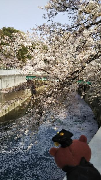 神田川覗くベア