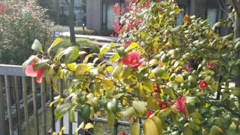 大隈庭園椿