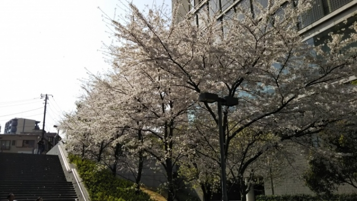 14号館脇桜