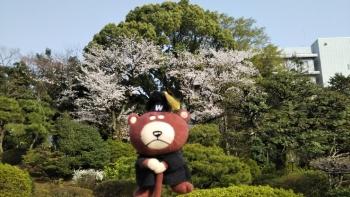 大隈庭園桜ベア横